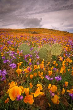 Mohnfelder und wilde Hyazinthe in Südostasien - Storm Passing von John Willia . All Nature, Amazing Nature, Beautiful World, Beautiful Images, Wild Flowers, Beautiful Flowers, Wild Poppies, Terre Nature, California Poppy
