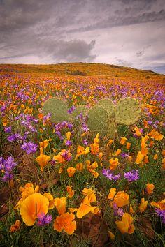 Poppies and hyacinth bloom, Black hills, Arizona