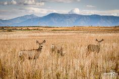Cerf mulet / Mule deer