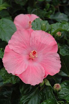 Tye-Dye Wind Hibiscus (Hibiscus rosa-sinensis 'Tye-Dye Wind') at Landsburg…