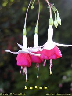 Fuchsia Joan Barnes, Trailing/Bush