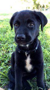 Black Labrador aussiedor black puppy - australian shepherd lab mix is a one of the popular designer dog breed in the world. It's a cross between the Labrador Retriever and the Australian. Lab Mix Puppies, Black Lab Puppies, Dogs And Puppies, Mixed Breed Puppies, Black Lab Mix, Husky Mix, Corgi Puppies, Black Labs, Doggies