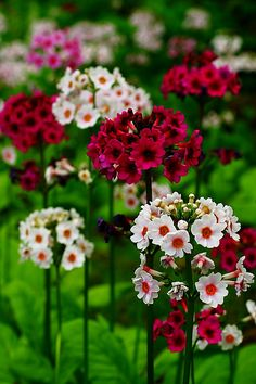 New amazing flowers pics every day, be the first to see them! Fantastic flowers will make your heart open. Beautiful Flowers Photos, All Flowers, Amazing Flowers, Pretty Flowers, Colorful Flowers, Spring Flowers, Primroses, Blossom Flower, Flower Pictures