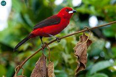 Chim Tanager Brazil | Brazilian tanager (Ramphocelus bresilius)(Thraupidae) IUCN Red List of Threatened Species 3.1 : Least Concern (LC) | (Loài ít quan tâm)