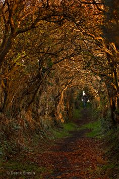 Ballynoe Tree Tunnel