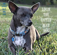 Louie, rescue dog, star of the children's book series The Little Blue Dog - promoting animal kindness and the humane choice of adoption. www.thelittlebluedog.com