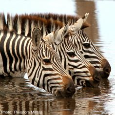 Zebras are generally thought to have white coats with black or brown stripes, since these stripes end at their bellies and inner legs, leaving white areas. However, zebras actually have black skin underneath it all! Plains Zebra, List Of Animals, Animal Species, Wildlife Conservation, African Animals, National Geographic Photos, North Africa, Tanzania, Mammals