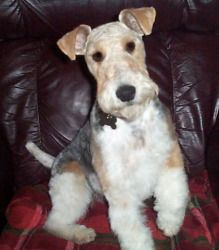 WILLIE is an adoptable Wire Fox Terrier Dog in DUMONT, IA. Wire Fox Terrier Rescue is a 501(c)3 non-profit organization dedicated to the Rescue, Rehabilitation and Rehoming of Wire Fox Terriers in the...