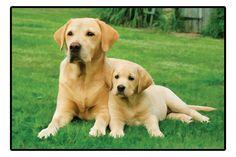 Yellow Labrador Retrievers Doormat