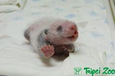 ♥ ... baby panda