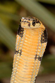 Juvinile King Cobra ( about 17 inches ) Animal courtesy of: HGHjim Jan. Les Reptiles, Amphibians, Create An Animal, Serpent Snake, Colorful Snakes, Snake Venom, King Cobra, Vertebrates, Amazing Nature