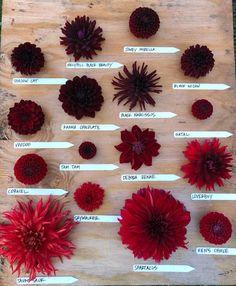 Fall Flowers, Cut Flowers, Wedding Flowers, Growing Flowers, Planting Flowers, Dahlia Flower, Dahlia Bouquet, Flora Farms, Flower Chart