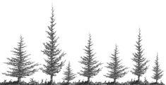Drawspace.com - Squirkle a Realistic Spruce Tree