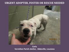 Horrific shelter w/horrific practices!! Please help save Carla! WILL DIE 6/11/14. Carla is a female Pit / Boxer Mix, 4-5 yrs old. This baby is in a kill shelter in Abbeville, LA which does not allow public adoptions. Animals must be pulled by an approved rescue or can be adopted through AAVA. TO ADOPT - fill out an application at http://animalaidvermilionarea.com/adoptions.php…