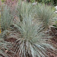 "Helictotrichon Sempervirens.  ""Blue oat grass"".  Pt shade.  2'X2' clump."