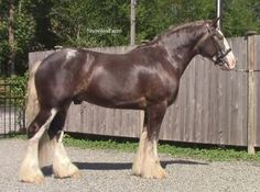2012 Silver Dapple Drum Stallion Stunning and exotic 2012 silver dapple Drum stallion with talent for dressage and/or jumping. Forward thinking, lovely conformation and willing temperament. Well started and will be a competitive with any warmblood or sporthorse. Serious opportunity for breeders. $40,000