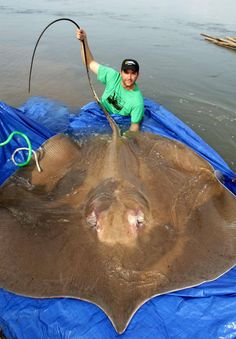 that is HUGE! Half-ton-giant-Freshwater-Stingray