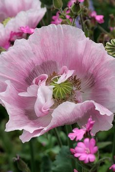 mystery poppy | Flickr - Photo Sharing!