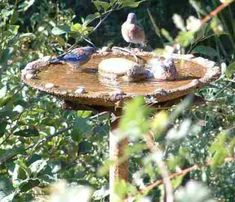 How to keep your bird bath clean- One of the tips - Probably the best tip....throw a couple copper pennies in the bird bath.
