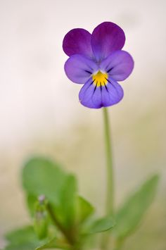 Lovely pansy #flowers  We call these Johnney Jump Ups. They can self seed and pop up here and there which looks lovely