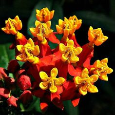 Scarlet Milkweed, Asclepias curassavica 50 seeds, easy to grow in all zones, but… - Modern Butterfly Plants, Butterfly Colors, Butterflies, Butterfly Weed, Swamp Milkweed, Sea Holly, Gardening Zones, Gardening Blogs, Gardening Services