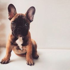 Sweet Frenchie, French Bulldog Puppy ❤️