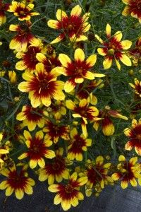 A few weeks ago Terra Nova Nurseries from Canby, Oregon (US) announced the introduction of Coreopsis 'Imperial Sun', marking the official launch of the 2013 Sneak Peek campaign. 'Bengal Tiger' is another ultra-hardy coreopsis which is introduced as a part of this campaign.
