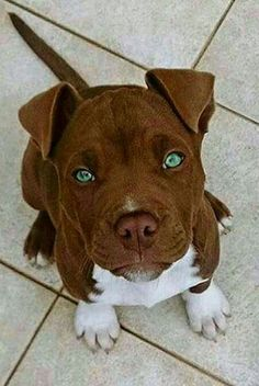 Pitbulls- We're Making These Poor Lovable Dogs Pay The Biggest Price For All Our Bad Humans. This Is Not Justice. This Is Not Civilized. This Is A Cop-Out. For Shame Assholes!!!