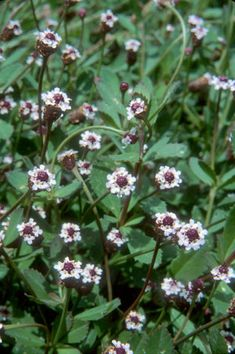 Porterweed shrub attracts butterflies and likes shade florida turkey tangle frogfruit capeweed natives for your neighborhood mightylinksfo