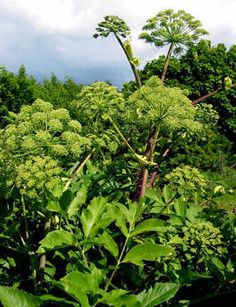 Angelica archangelica. A large biennial from slightly shady places in Europe, growing to 2 m (7 ft) high. Stems are edible, often candied. All parts are used medicinally, the essential oil is used in perfumery and as a food flavouring. Likes a moist slightly acid soil with some shade; hardy to -25°C.