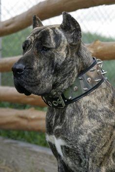spanish mastiff | Presa Canario (spanish mastiff) | Breeds of Dogs I Admire