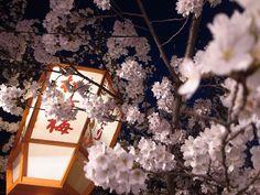 Yasaka Sakura (Cherry blossom)