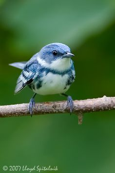 Cerulean Warbler Two of Five Bird Species Your Grandchildren May Never See