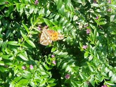 Coastal Discovery Museum on Hilton Head Is. has a butterfly habitat that is home to some 13 species of native butterflies to the Lowcountry