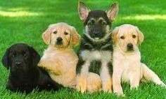 Black lab, golden retriever, German shepherd, yellow lab puppies