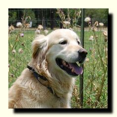 This is Hank - 8 yrs. He was an owner surrender due to his thunderstorm anxiety. He is heart worm positive & undergoing treatment. He is neutered, current on vaccinations, potty trained & likes kids. Hank is looking for a forever home & is at Dallas Fort Worth Metro Golden Retriever Rescue, TX.