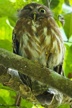 Philippine Hawk-Owl (Ninox sp.) is a complex of owls in the Strigidae family. They are all endemic to the Philippines.