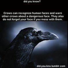 A crow never forgets a face. I know some people don' like them - but I think they're very smart and interesting creatures The More You Know, Did You Know, Crow Facts, Raven Facts, Funny Animals, Cute Animals, Wtf Fun Facts, Random Facts, Creepy Facts