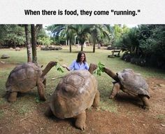 Most animals look very cute when they are happily eating food they're fed. Giant tortoises are no exception!
