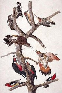 June 15, 1806, on the Lolo Trail, Idaho.      A robin-size woodpecker. Black and white, with unspotted white back and long bill; male has red head patch. Like most woodpeckers it has an undulating flight. Length: 9 in (23 cm).      A sharp, distinctive peek, louder than that of downy woodpecker; also a loud rattle on one pitch  Resident from Alaska and across Canada south throughout United States to Gulf of Mexico. Some northern birds migrate south for winter.