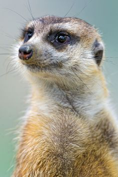 Meerkat. They're just so comic! ...........click here to find out more http://googydog.com