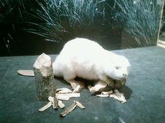 who wants to see my albino beaver? LOL