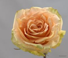 Stoneblossom Florals' Roses