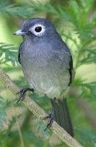 White-eyed Slaty Flycatcher - Photo copyright Hideo Tani. Muscicapidae (songbird) family, Suborder Passeri