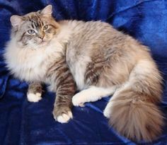 Rag Doll Kittens Ragdoll purr and meow Ragdoll Kittens For Sale, Cute Cats And Kittens, Baby Cats, Cool Cats, Kittens Cutest, Baby Animals, Cute Animals, Ragdoll Cats, Funny Kittens