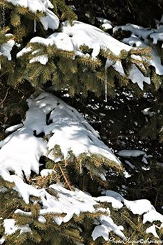 Snowy Pine / Classic Winter Scene of Snow-covered Pine Boughs / Nature / Fine Art Photography Print Winter Scenes, Fine Art Photography, Life Is Good, Pine, Snow, Wall Art, Amazon, Classic, Nature