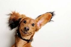 One ear up, one ear down!  #doxie #cute #dachshund