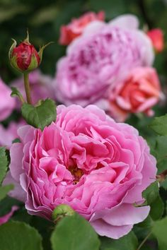 Princess Alexandra of Kent - English Rose
