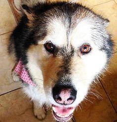Rainy day walkies are the best kind  #leahthedog #rainyday #walkies #malamute #alaskanmalamute #wetdog #browneyes #browneyedgirl #petoftheday #dogslife #dogsofinstagram #igwoofs #sleddog #snowdog #petsofinstagram #dog #doggylove #doglover #pinknose #petsofig #animallover #animaladdicts #dog_features #cutepetclub #cuteanimals #furbaby #dogmom #furries