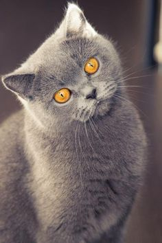 Look into my eyes (Anastasia Voronova) I Love Cats, Cool Cats, Beautiful Cats, Animals Beautiful, Animals And Pets, Cute Animals, Photo Chat, Kinds Of Cats, Grey Cats